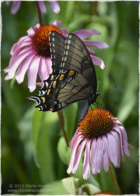 black-swallowtail-IMG_1756