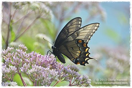 black-swallowtail-IMG_1762