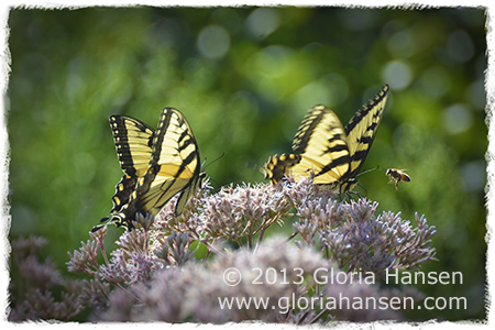 Butterflies_Hansen_Aug2013