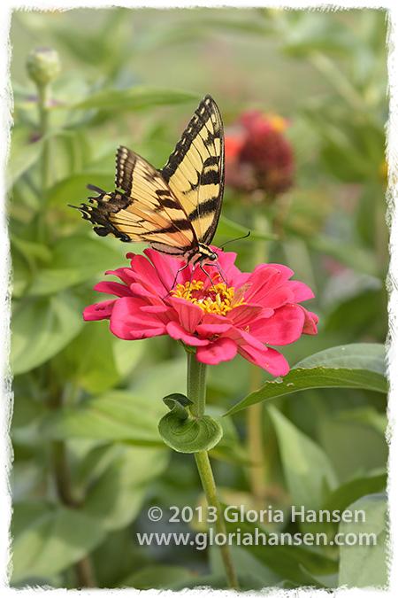Hansen-butterfly-IMG_1990