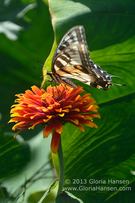 Hansen-butterfly_DSC5699