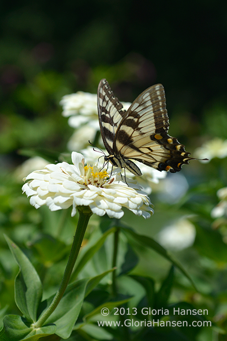 Hansen-butterfly_DSC5761