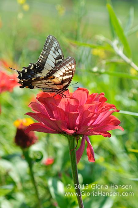 Hansen-butterfly_DSC5802