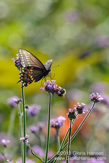 Hansen-butterflySept2013