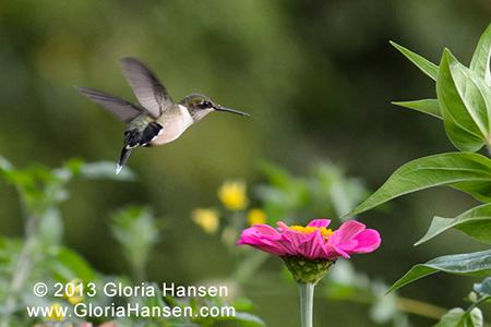 Hansen-hummingbird2