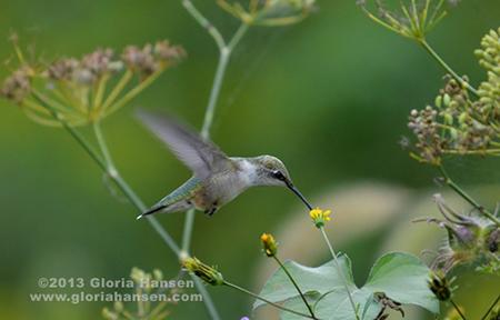Hummingbird1-Hansen