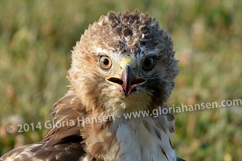 Hawk2-web