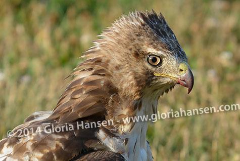 Hawk4-web