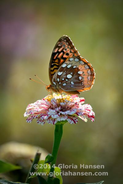 Hansen-August25-butterfly-1