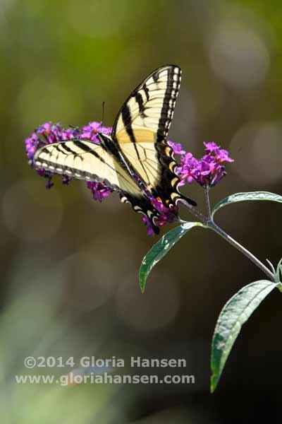 Hansen-August25-butterfly-2