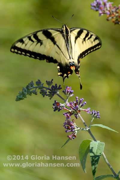 Hansen-August25-butterfly-3