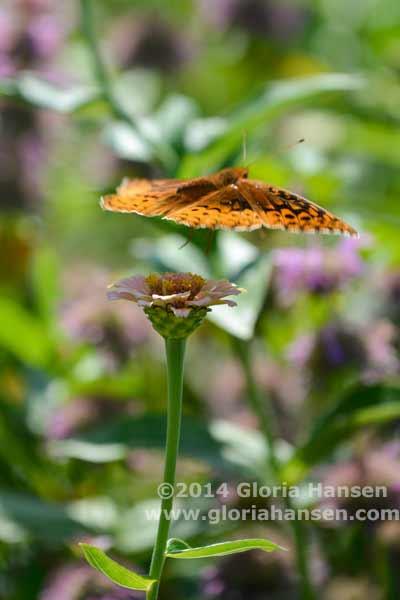 Hansen-August25-butterfly-4
