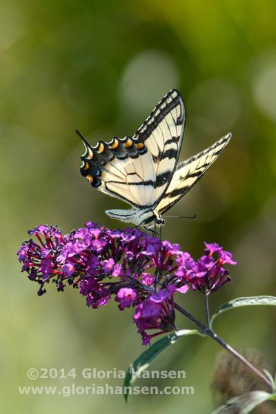 Hansen-August25-butterfly-5