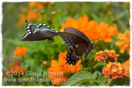 twobutterflies-Hansen-August2014
