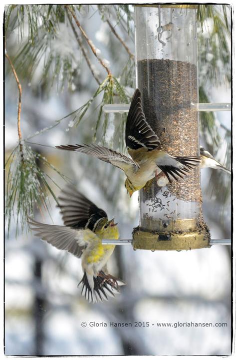 Spring1dayfinches-GloriaHansen-web1