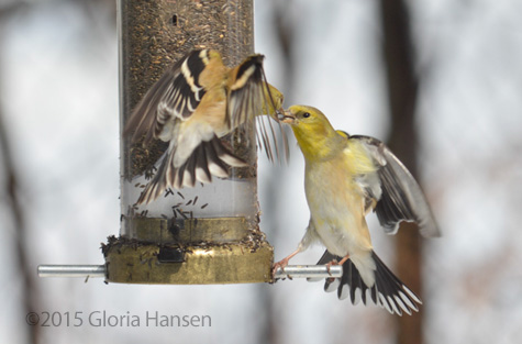 Hansen-finches-Mar20154