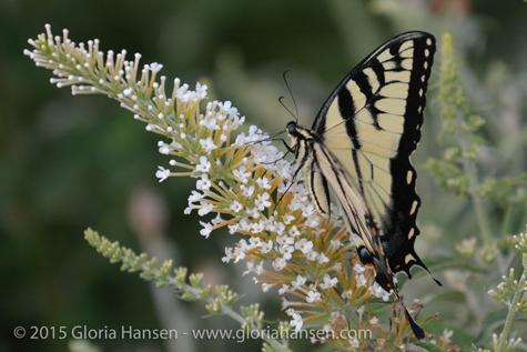 Butterfly6-Hansen-2015