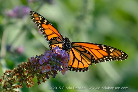 Butterfly7-Hansen2015