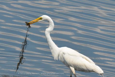 Egret-Fish-GloriaHansen