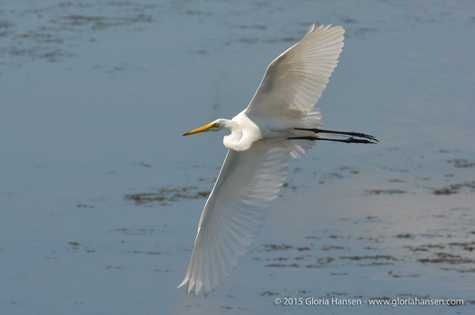 Egret-Flying-GloriaHansen-2015