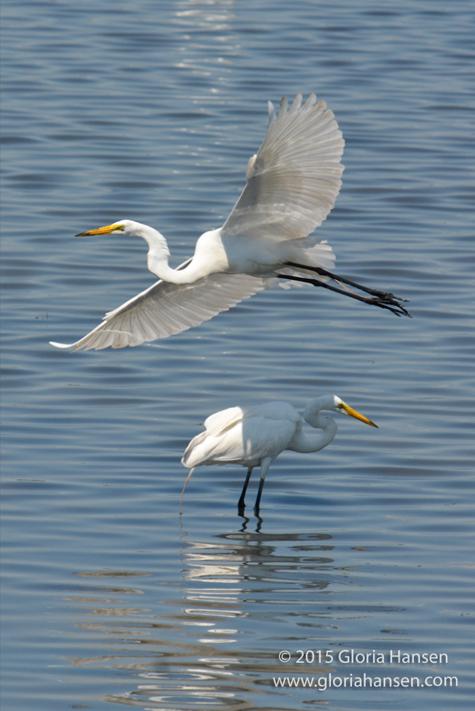 Egrets3-GloriaHansen