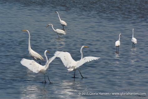 Hansen-Gloria-egrets1