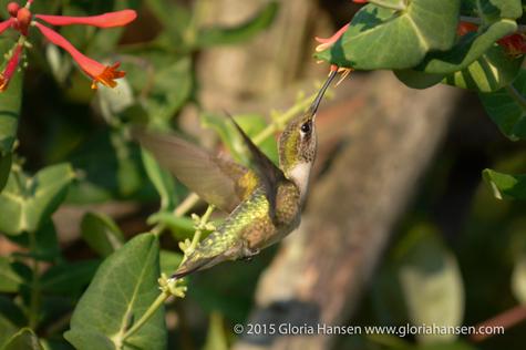 Hummingbird-Hansen