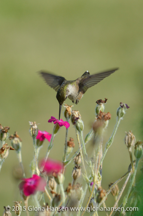 Hummingbird4-Hansen