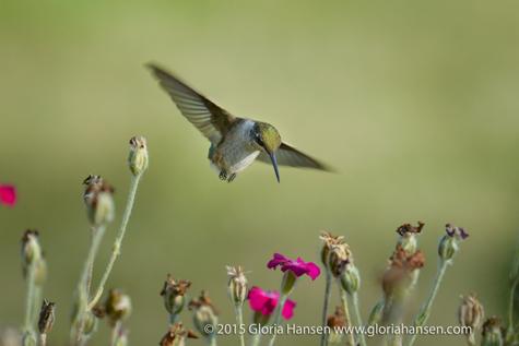 Hummingbird5-Hansen