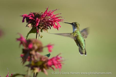 Hummingbird6-Hansen