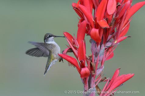 Hummingbird7-Hansen