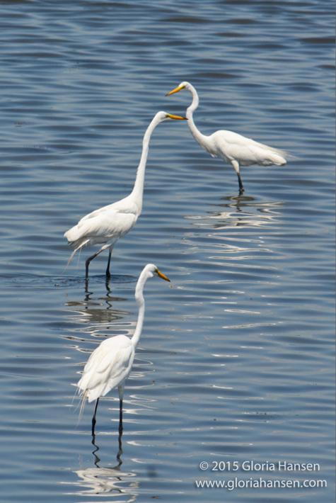 egrets2-GloriaHansen