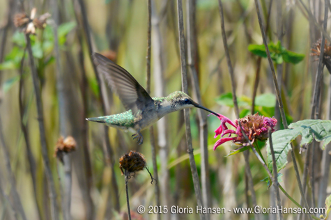 HUMMINGBIRD-Hansen-Gloria-August2015-web