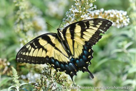 Hansen-butterfly-August-3