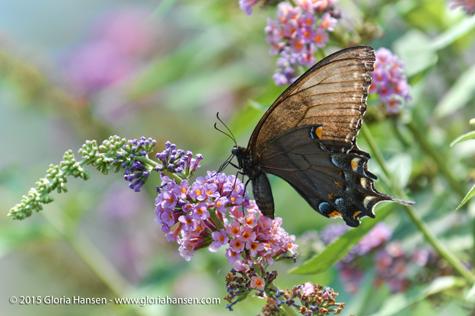 Hansen-butterfly-August1-1