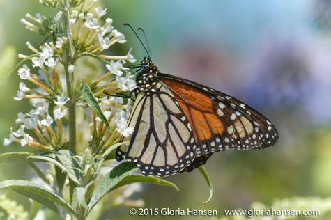 Hansen-butterfly-August1-2
