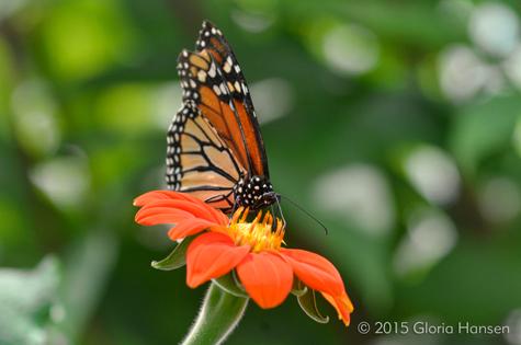 Hansen-butterfly-August2015-1