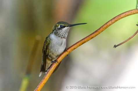 Hummingbird-Hansen-Aug2015