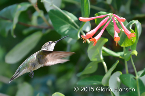 Hummingbird-Hansen-aug2015-2