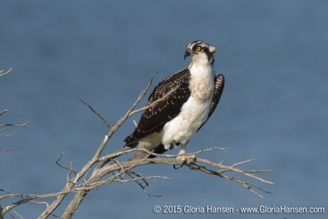 Osprey-Hansen-Gloria-August2015-web