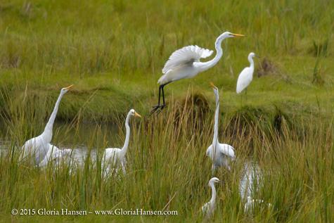 _GLO3002-egrets-web