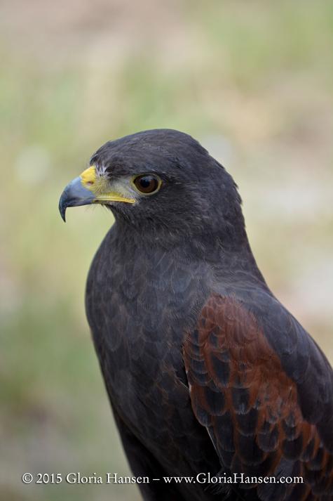 Hawk_GLO3853-web