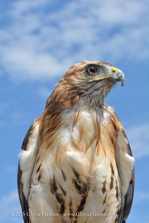 Hawk_GLO3951-web