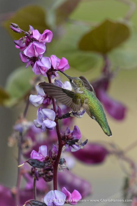 Hummingbird-HansenGloria-Aug2015-1
