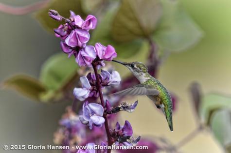 Hummingbird-HansenGloria-Aug2015