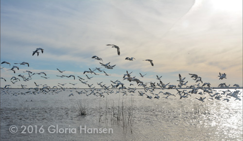 SnowGeese-1