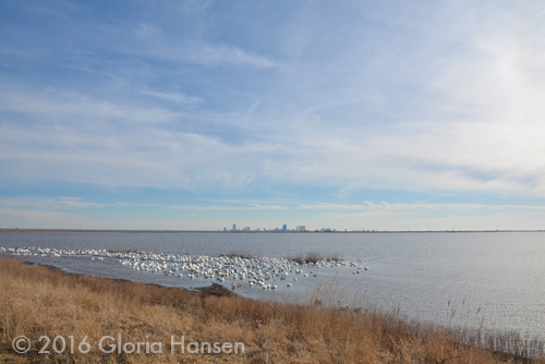 SnowGeese-6
