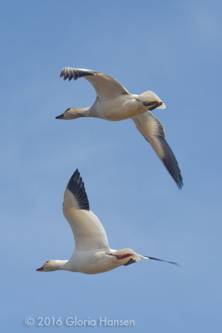 SnowGeese-8