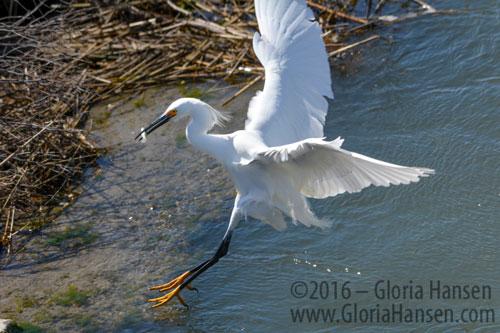 Hansen-Egret-fish