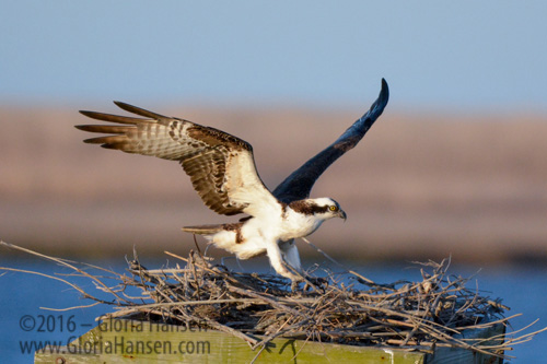 Hansen-Ospreys-Mar2016-3